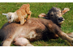 牛和羊相配婚姻如何,矛盾重重