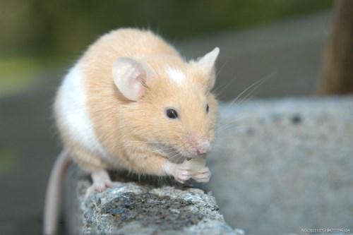 处暑出生的属鼠宝宝命好吗,有怎样的运势