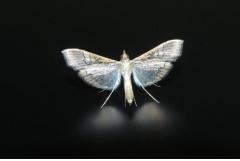 飞蛾飞进家里预示什么