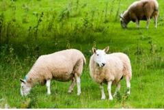 属羊2020年可以生鼠宝宝吗,几月出生旺父母