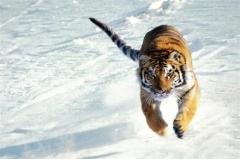 属虎晚上出生是吃人虎