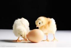 属鸡的人最怕什么属相