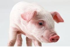 属猪的人最怕什么属相