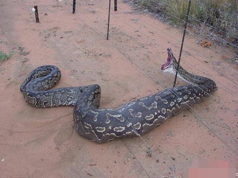 周公解梦梦见被蟒蛇追是什么意思
