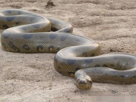 周公解梦男人梦见大蟒蛇是什么意思