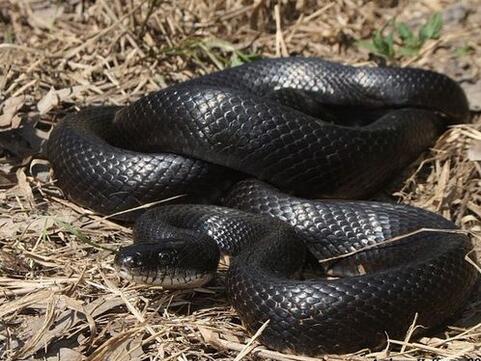 周公解梦梦见黑蛇是什么意思