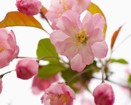 关于樱花的诗句 关于樱花的诗句古诗