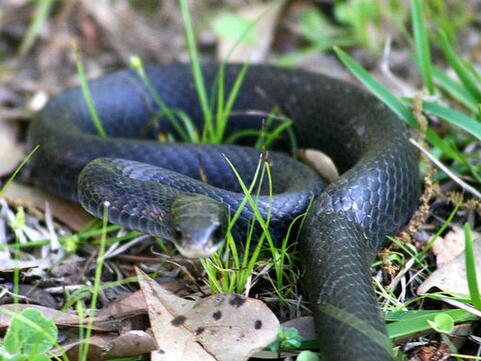 周公解梦孕妇梦见黑蛇是什么意思