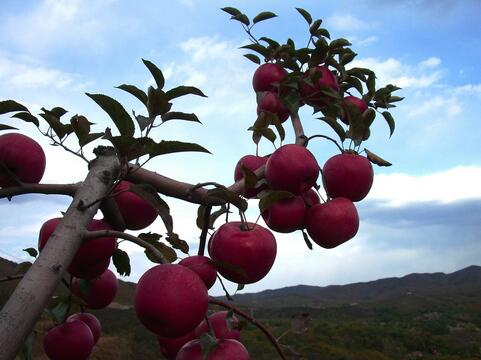 梦见果树结满果实将被年长的人热爱