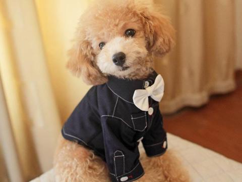 泰迪不是犬种,它只是贵宾犬众多美容造型中的一种的